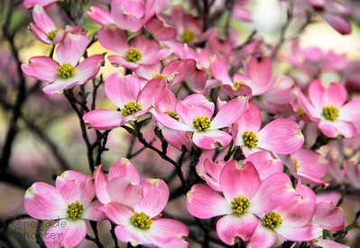 pink blossoms-4737