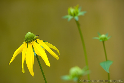 Wild yellow coneflowers on the Blue Ridge Parkway.