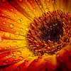 Expression of Colors in a Gerbera Daisy
