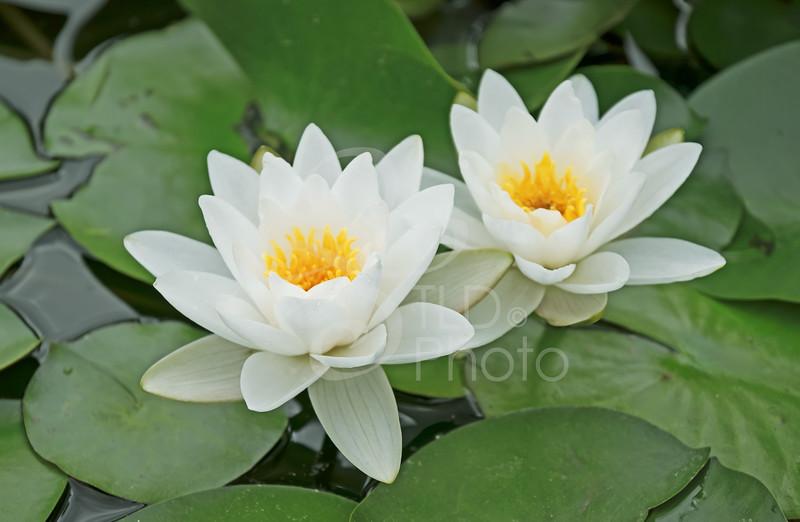 TLD_Flowering Water Lilys
