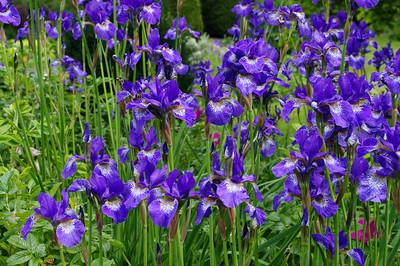 Siberian flag irises
