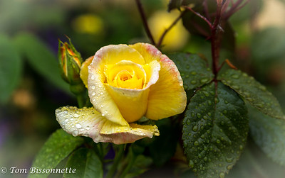 Kinsale Rose
