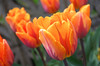 Princess Irene Tulips