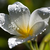 white frangipani with raindrops