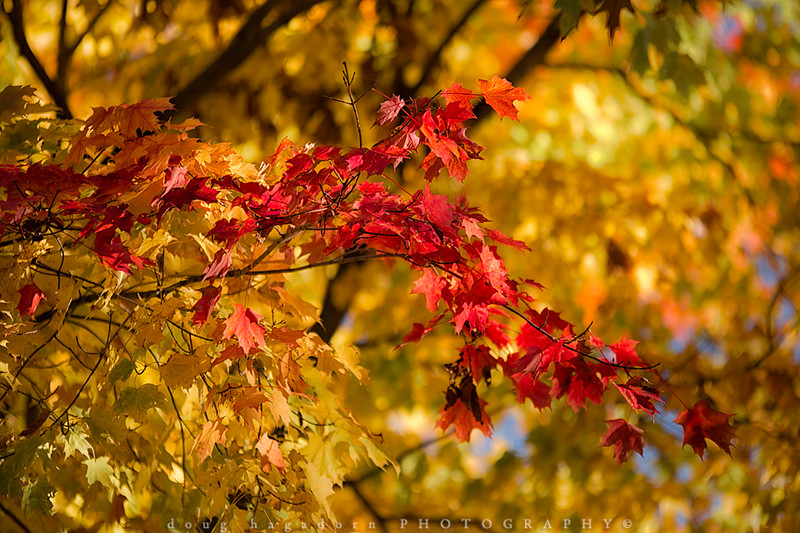 Maples In Autumn (#0285)