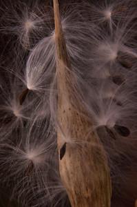 Apocynaceae -  Asclepias incarnata - Swamp Milkweed