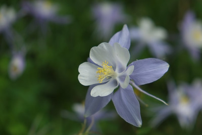 Colorado Columbine 3
