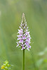 Common Spotted Orchid / Dactylorhiza fuchsii / Bosorchis