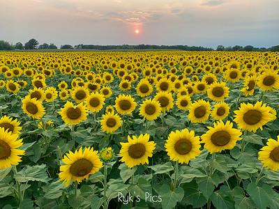 Sunflower Sunset V