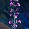 Pink Flower Near Sabino Canyon
