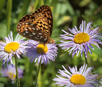 Great Spangled Fritillary on Fleabane