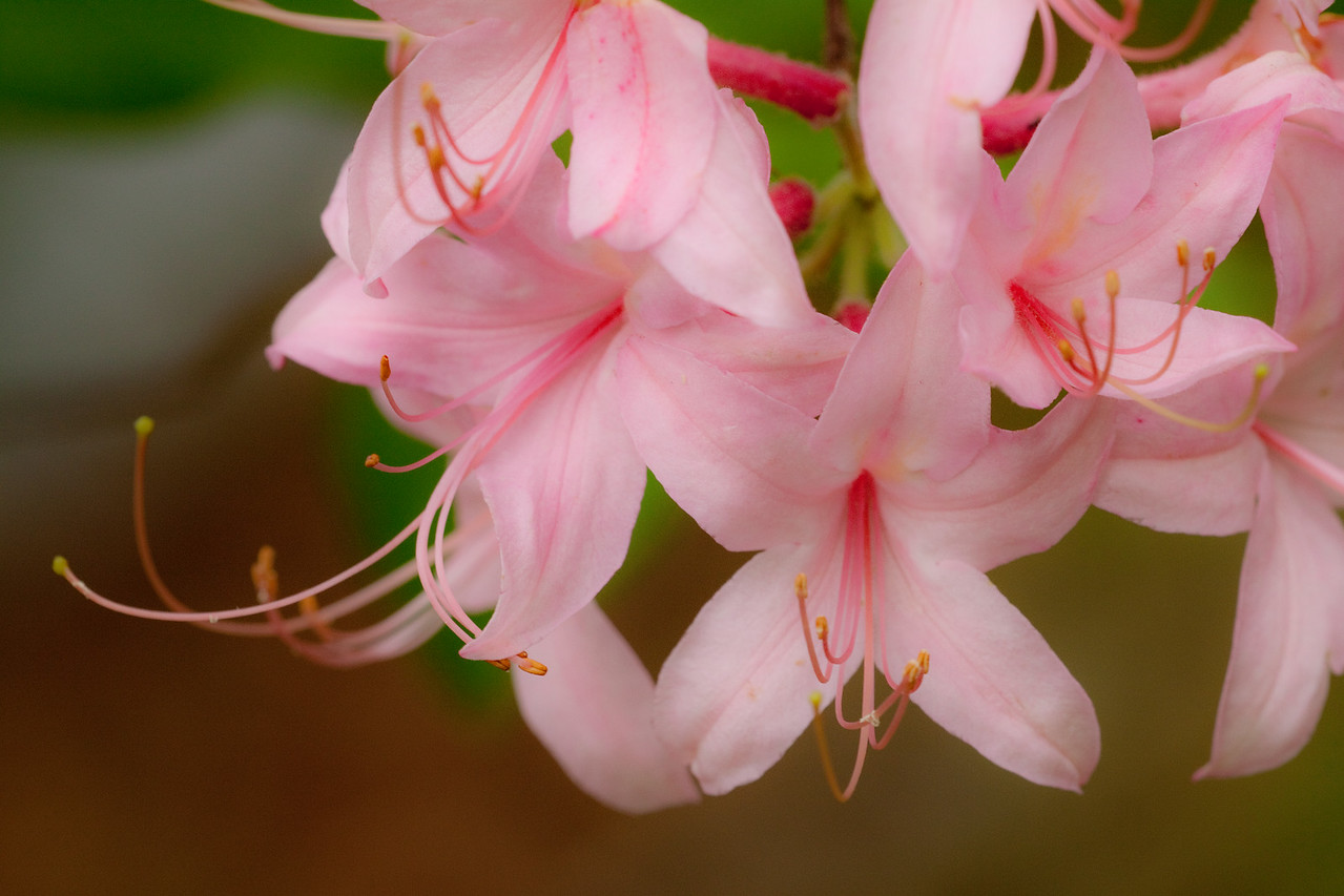 Wild Azaleas, Ozark National Forest, Arkansas
