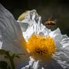Matilija Poppy & Bees 9654