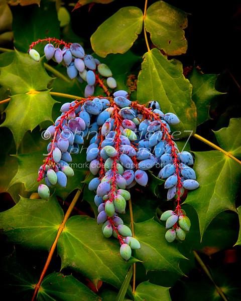 Orego grapes
