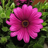 Osteospermum Flower 124