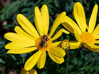 African Daisy with Bee