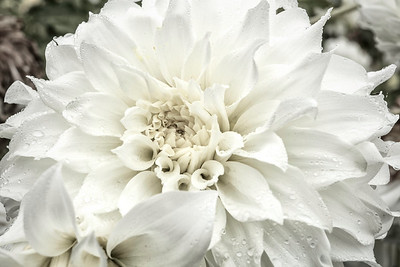 White Dalia after storm