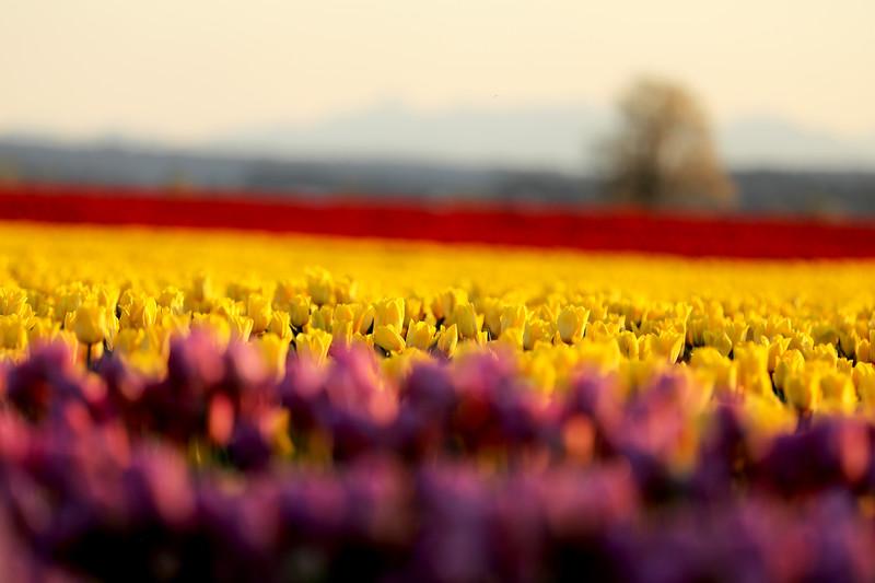 Skagit Valley Tulip Fields, Burlington, Washington
