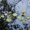 Water Lilies on Hidden Pond