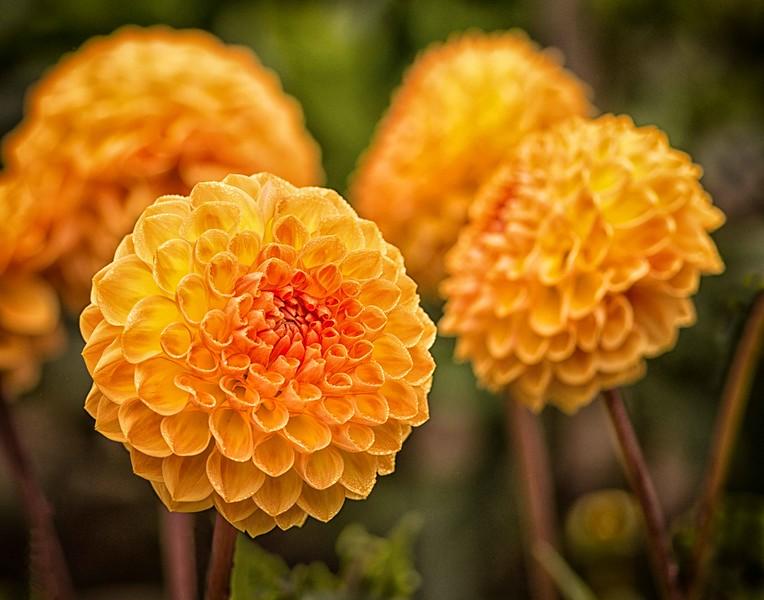 Dahlia Garden, Golden Gate Park, San Francisco, CA