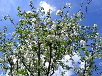white flowering plant . Mock oranges