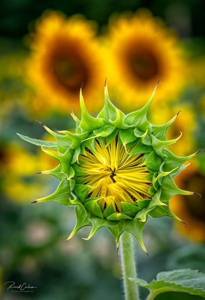 Budding Sunflower (1)