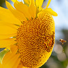 sunflower + bee