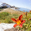 Lilies by the Sea