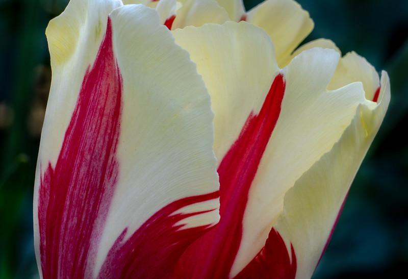 Tulip 9612
