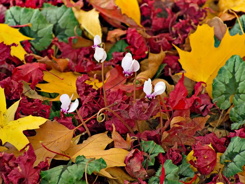 Cyclamen Among Fallen Maple Leaves