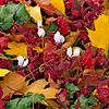 Cyclamen Among Fallen Maple Leaves