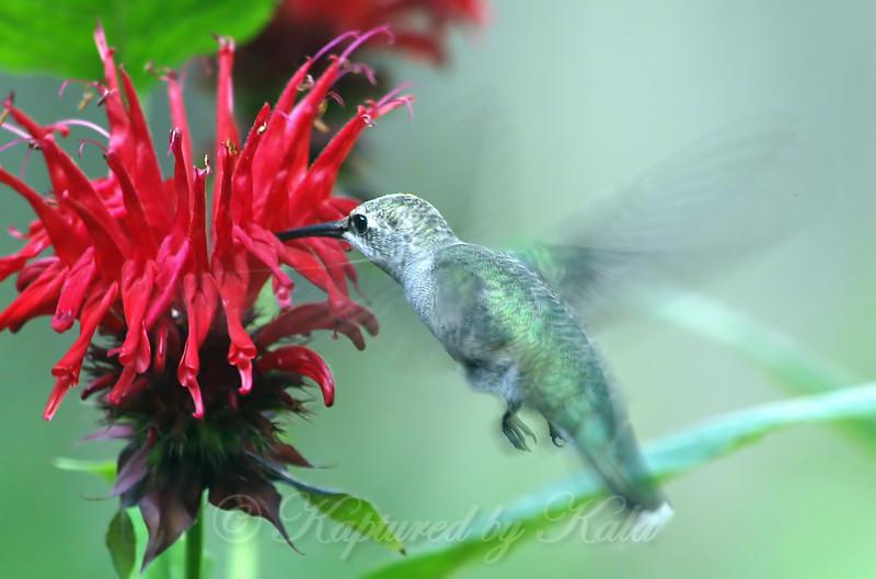 My First Hummingbird This Summer