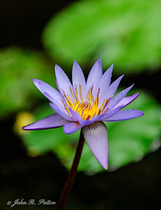 Water lily. VIII