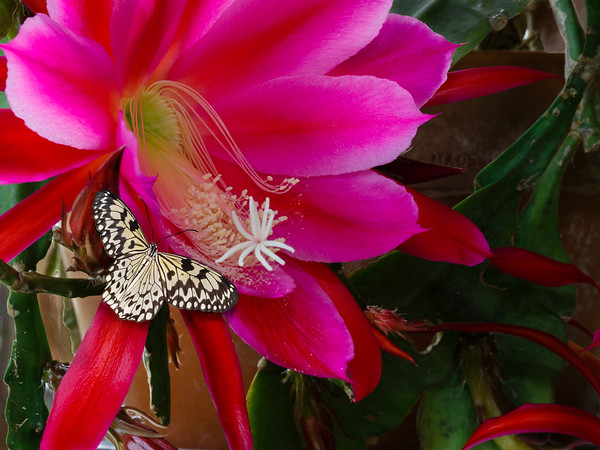 Butterfly and Christmas Cactus