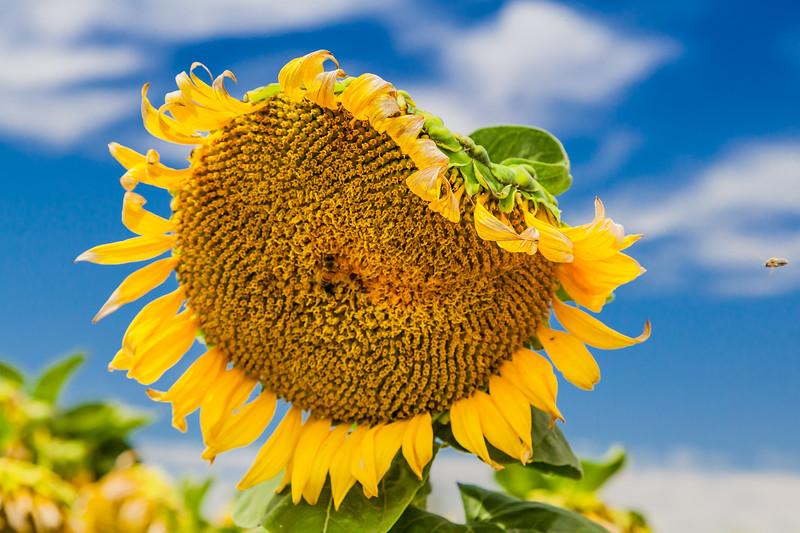 California Sunflower Fields 2