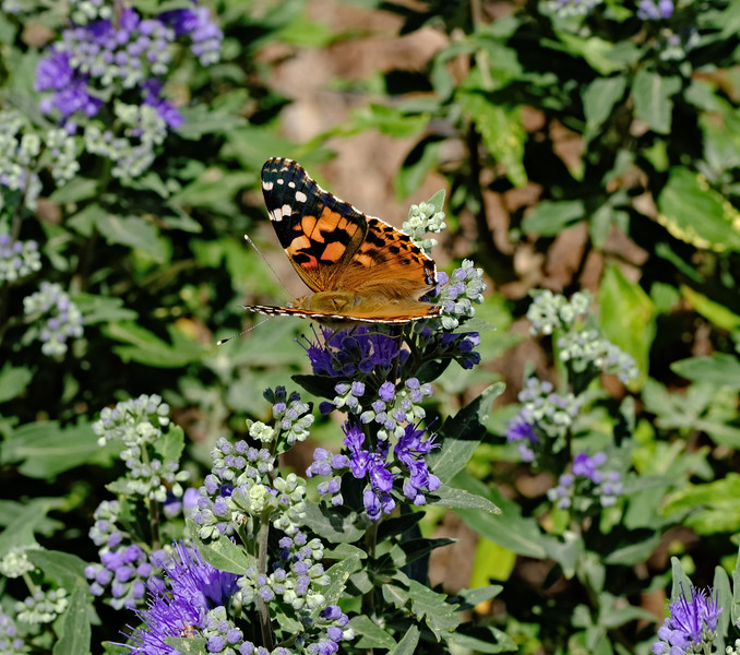 Butterfly on Caryopteris