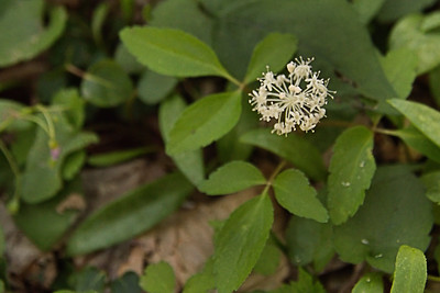 Araliaceae -  Panax trifolius - Dwarf Ginseng