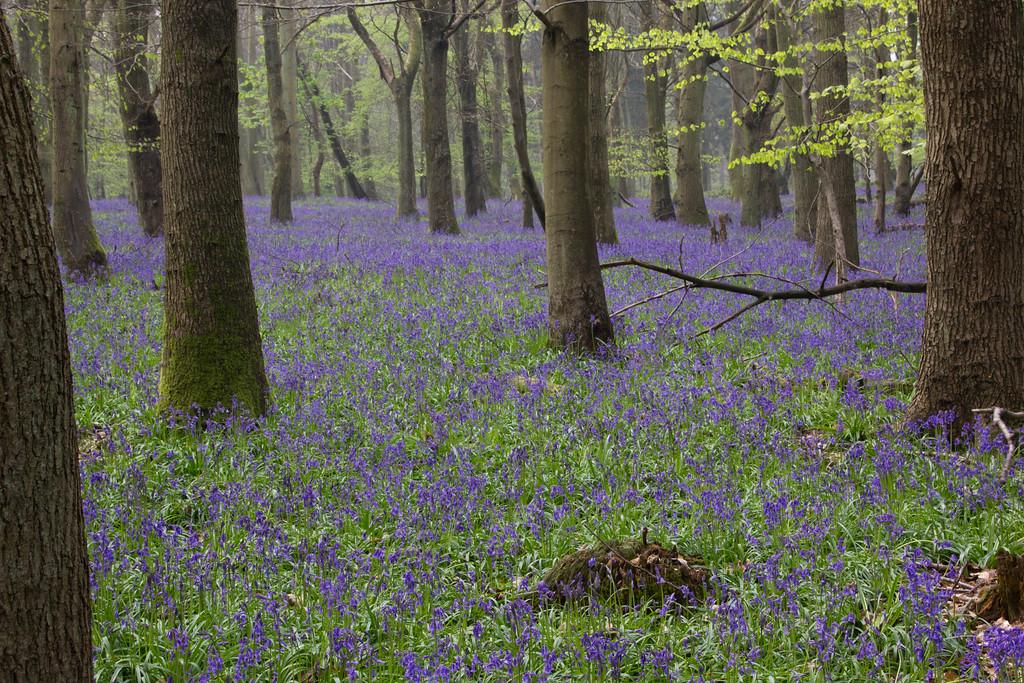 Blue Bell Wood 3