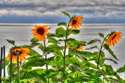Sunflowers over the water in La Jolla