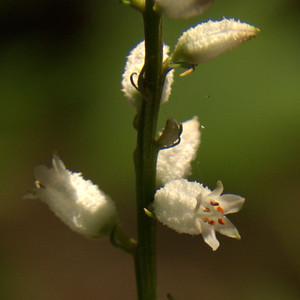Nartheciaceae Aletris farinosa - White Colicroot
