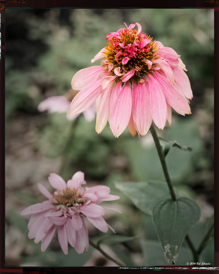 Cone Flower Variant