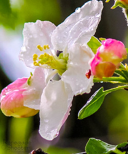 apple blossom-4682