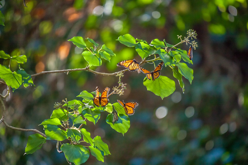 Monarchs in the Fall