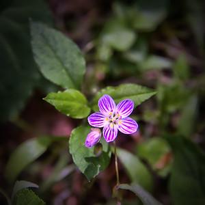 Portulacaceae -  Claytonia virginica - Spring Beauty
