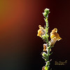 Twilight Snapdragon - Yellow