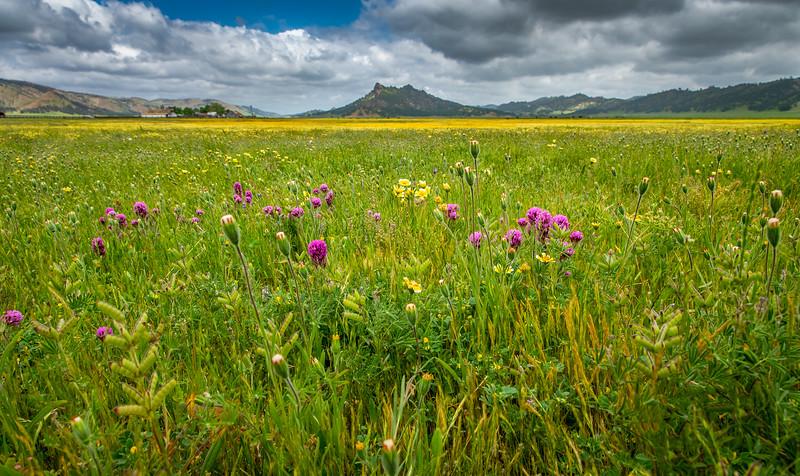 Bear Valley Wildflowers