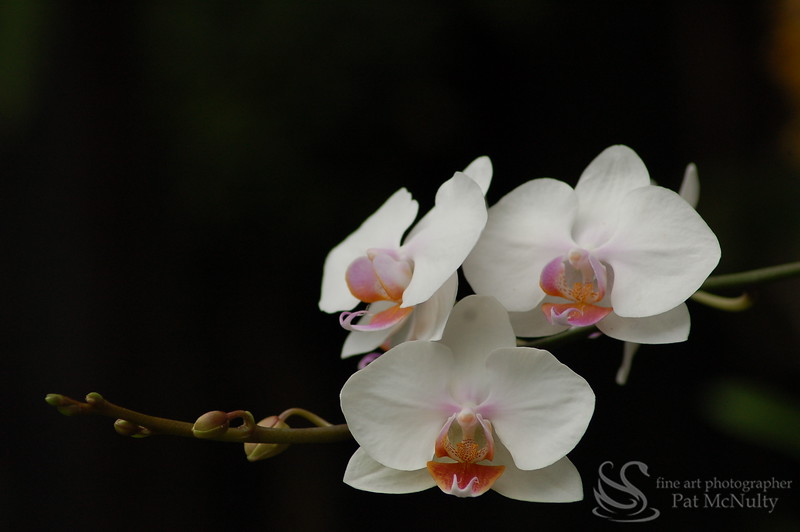 White Orchids Picture