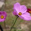 Cosmo Wild Flowers 224