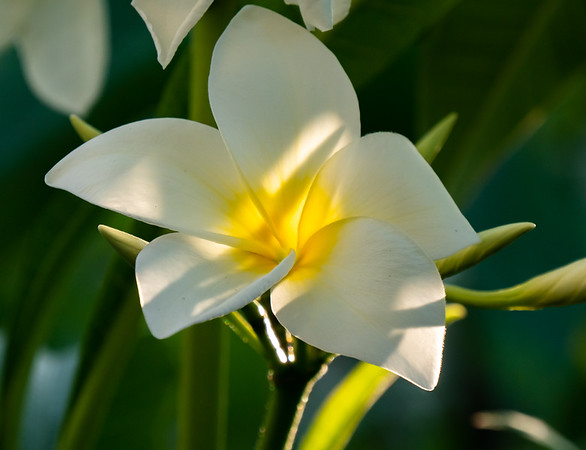 sunlit white frangipani