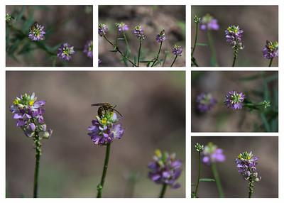 Polygalaceae -  Polygala curtissii - Curtiss Milwort